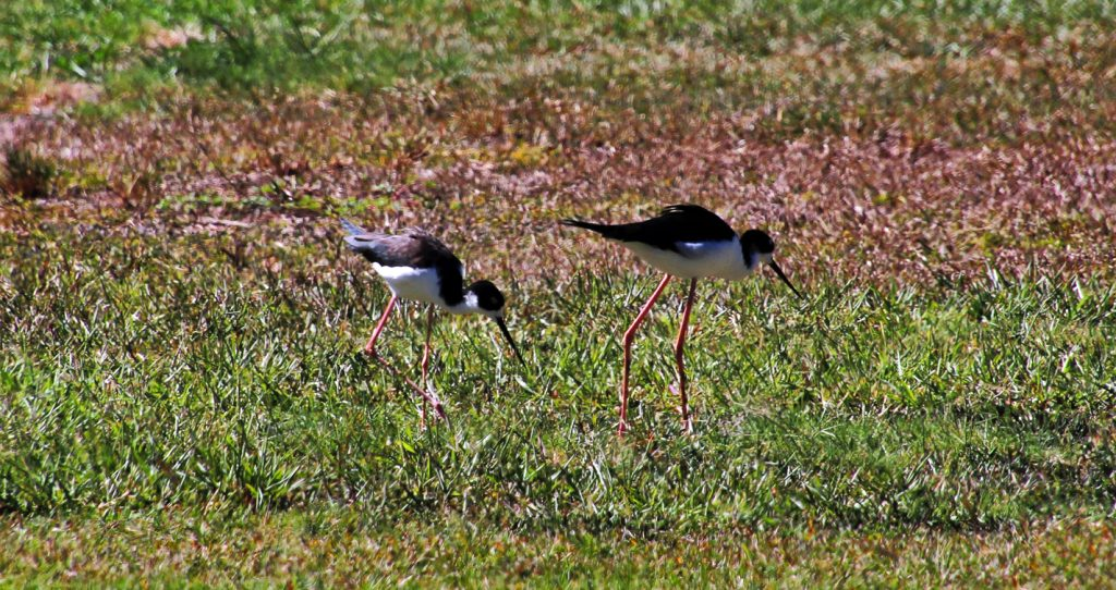 "The Hawaiian stilt (Himantopus mexicanus knudseni) is an endangered Hawaiian subspecies of the black-necked stilt (H. mexicanus) species.  It is a long-legged, slender shorebird with a long, thin beak.  Other common names include the Hawaiian black-necked stilt, the aeʻo (from a Hawaiian name for the bird and word for stilts), the kukuluaeʻo (a Hawaiian name for the bird and word for ""one standing high""), or it may be referred to as the Hawaiian subspecies of the black-necked stilt."