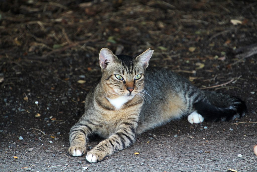 One of the many cats at He'eia State Park.