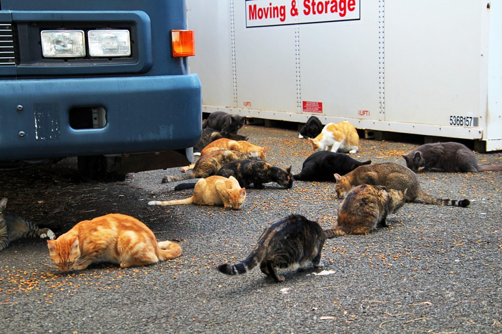 The cats at He'eia State Park get fed by a volunteer each afternoon.