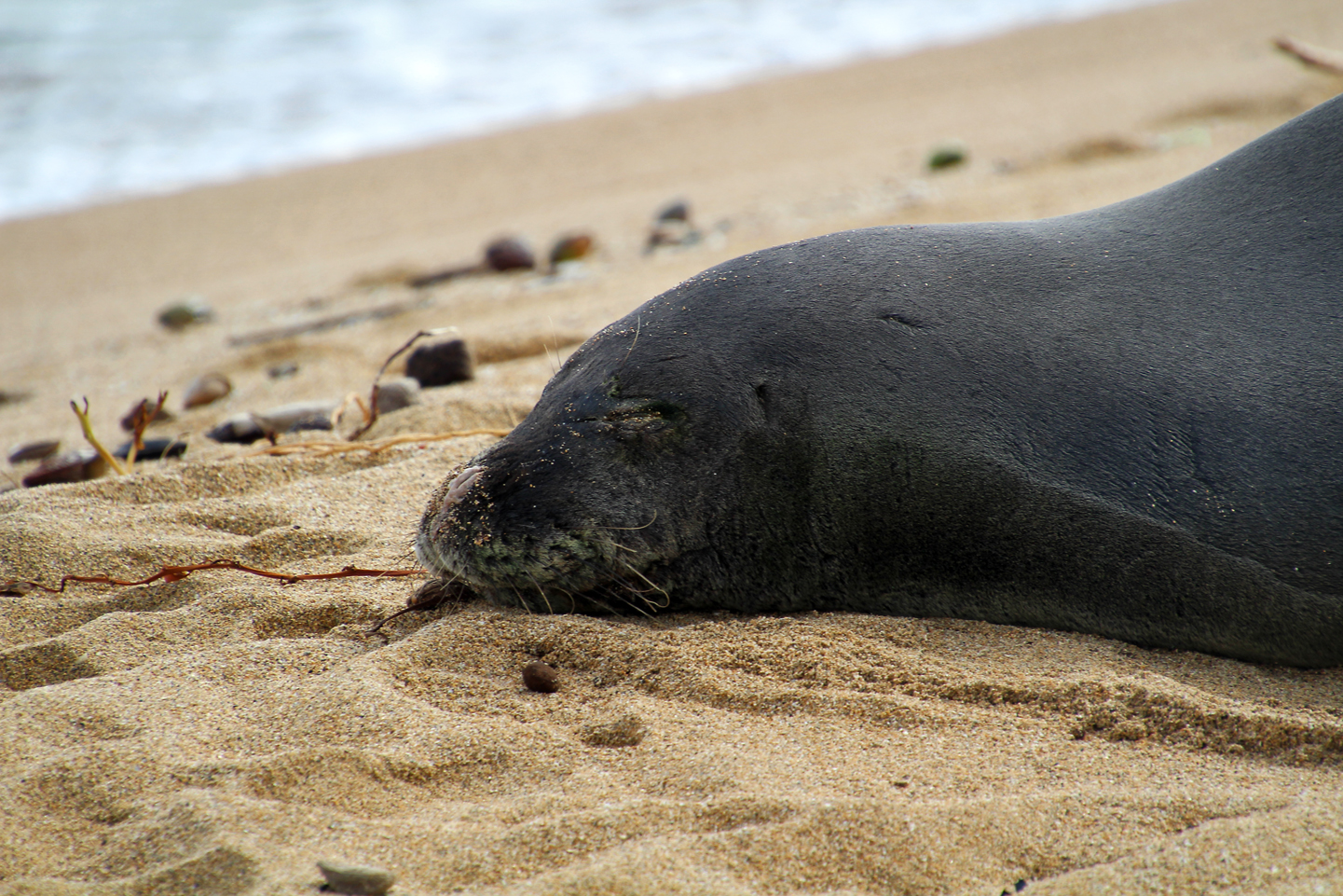 Hawaiian Monk Seal in Hau'ula