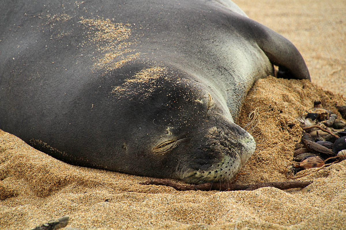 The name of this Hawaiian Monk Seal is Ipo, short for Ku'uipo which in Hawaiian means Sweetheart.  Ipo if the first of 10 pups from Honey Girl.