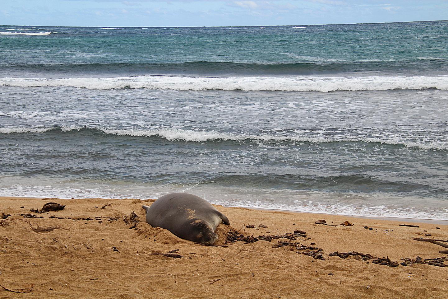 Hawaiian Monk Seal on the beach in Hau'ula.