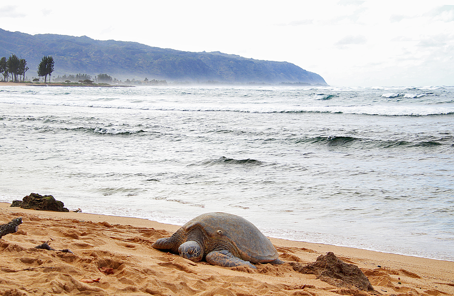 A Green Sea Turtle on the beach on the North Shore.