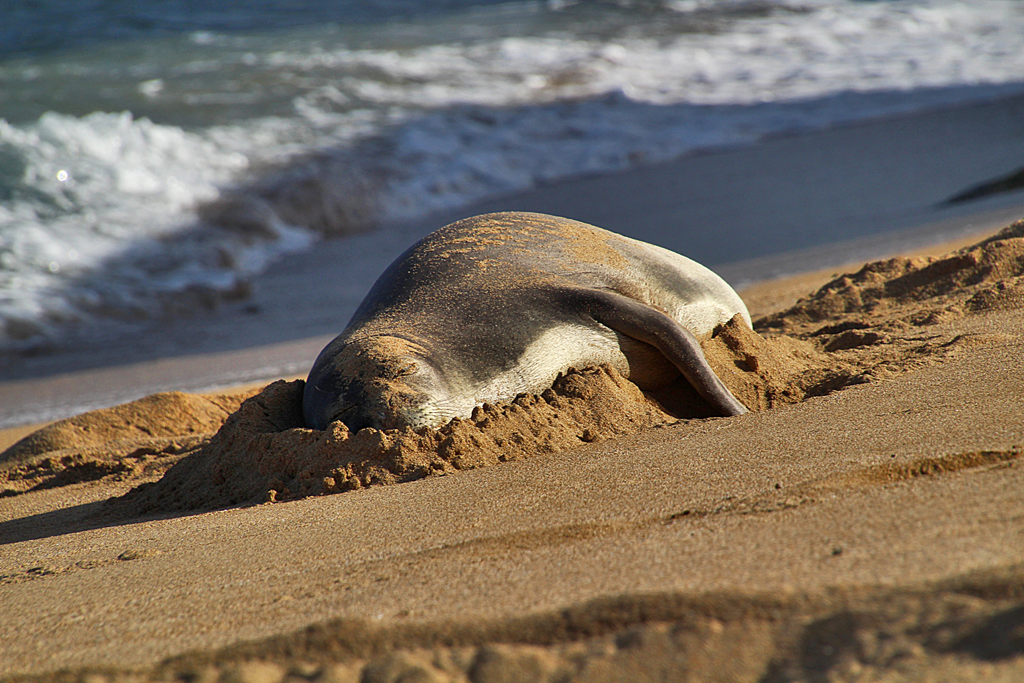 Hawaiian Monk Seal on the beach in Hau'ula. This one is Ipo.
