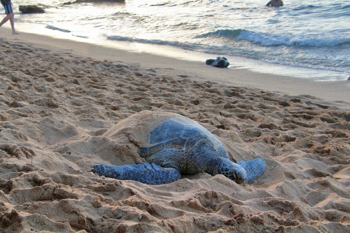 Turtle on the beach on the North Shore